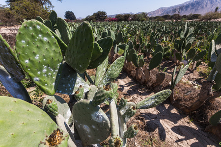 Cactus plantation to raise the cochineal, an insect from which a red pigment is extracted. Banco de Imagens