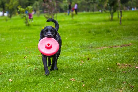 Black labrador dog playing with red disc in the mouth