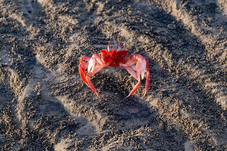 Small red crab on the irregular sands of the beach