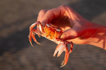 Small red crab held by one hand