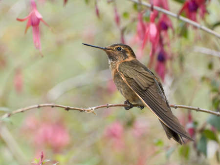 The Shining Sunbeam is a hummingbird of the high andes. Imagens