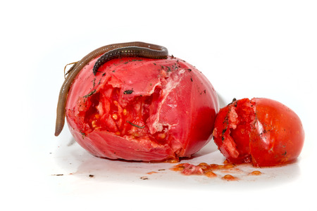 insides: Two rotten tomatoes with a large worm isolated on white Stock Photo
