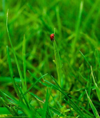 ladyfly: Lady-bird in summer grass