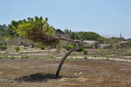 August 10th 2018, Malta: extremely wind-deformed tree Stok Fotoğraf