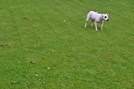 Bull terrier on meadow Imagens