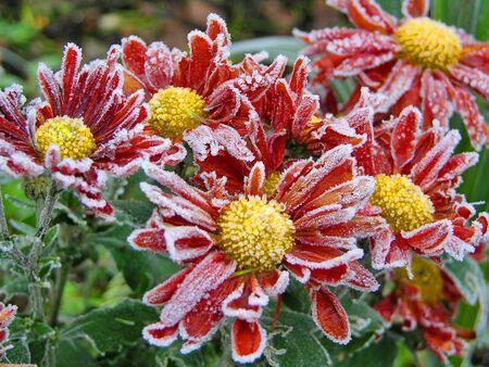 Deutschland; Im Winter mit Raureif bedeckte Chrysanthemen Standard-Bild