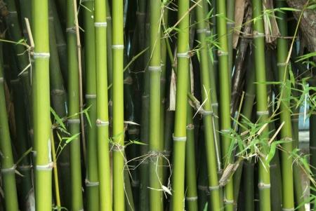 vivacious: bamboo in thai temple,Thailand