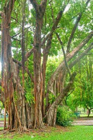 trickle down: banyan tree in Thai park