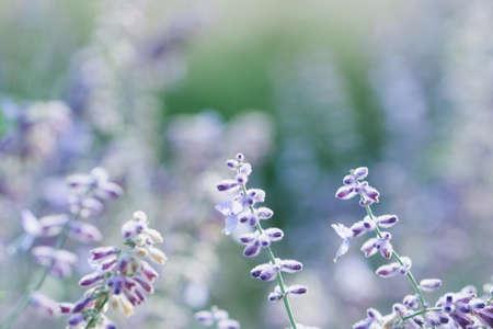 bee on flower: Purple meadow flowers background. Cold tones.