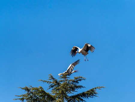 Stork in flight. Boadilla del Monte, Madrid, Spain