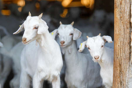 Breeding goats in a farm. Livestock exploitation in Spain. Banque d'images