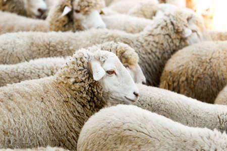 Breeding of sheep in a farm. Livestock exploitation in Spain. Standard-Bild