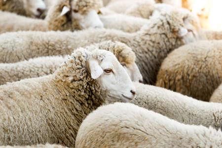 Elevage de moutons dans une ferme. Exploitation du bétail en Espagne. Banque d'images