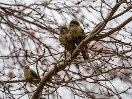 Cotorra Argentina, Cotorra Monje or Cotorra Verdigris, bird belonging to the parrot family introduced in much of Europe as a companion animal.