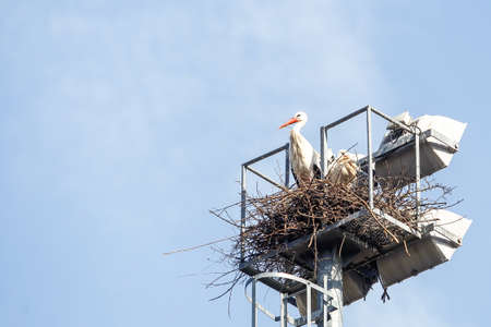 A group of storks make their nests in the lighting towers of a sports center in Soto del Real, Madrid, Spain. Stockfoto