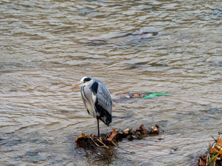 Gray heron or airon, is a large bird, neck and long legs and gray plumage. Inhabits all types of wet or freshwater wetlands in temperate regions.