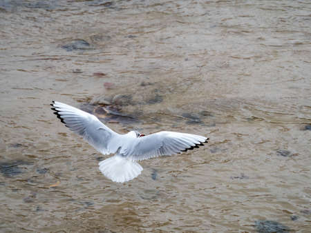The Seagull belongs to a group of medium to large aquatic birds. Generally of gray or white plumage and with black marks on the wings and usually on the head, with the long and stout beak and webbed feet. Banco de Imagens