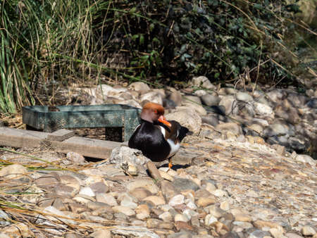 Ducks in the pond of the path of Fresneda, in Boadilla del Monte, Madrid, Spain. Foto de archivo