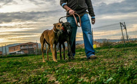 Greyhound dogs, domestic animal. Race that is characterized by its fast career, is used for the sport of the hare hunt.