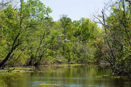 bayou swamp: White birds rising from the calm water of a bayou