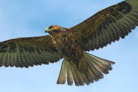 span: Hawk in flight over the Galapagos Islands