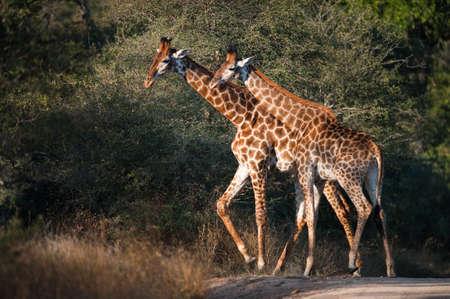 Two GIRAFFES  Giraffa camelopardalis  walking, South Africa Stock Photo - 13334518