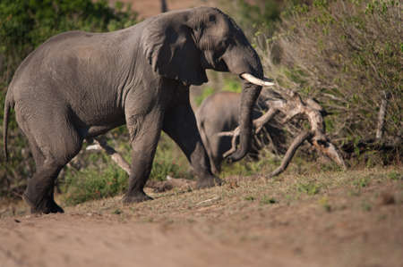 AFRICAN BUSH ELEPHANT (Loxodonta africana) walking uphill Stock Photo - 13334075