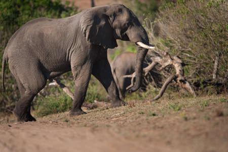 en mont�e: Brousse africaine �l�phant (Loxodonta africana) la marche en mont�e Banque d'images