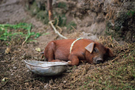 Pig sleeping in rural Ecuador photo