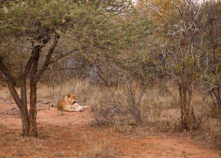 Female lion relaxing in the bush, South Africa Stock Photo - 13334767