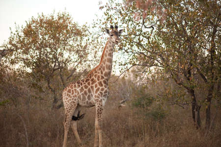 GIRAFFE (Giraffa camelopardalis) in the bush, South Africa photo