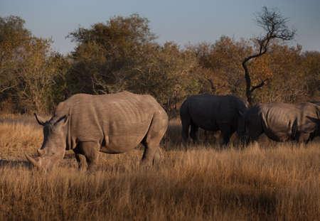 Three rhinoceroses grazing in the bush, South Africa photo