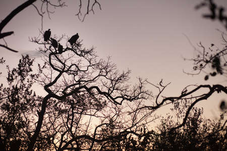 Four vultures perched in a tree, South Africa photo