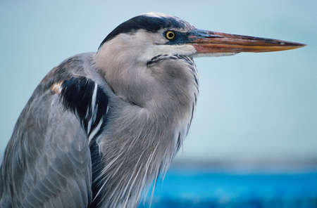 Great blue heron (Ardea herodias) with its neck pulled in photo