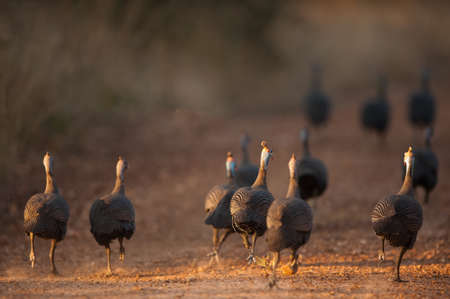 Helmeted guineafowl running away, Hoedspruit, South Africa Фото со стока