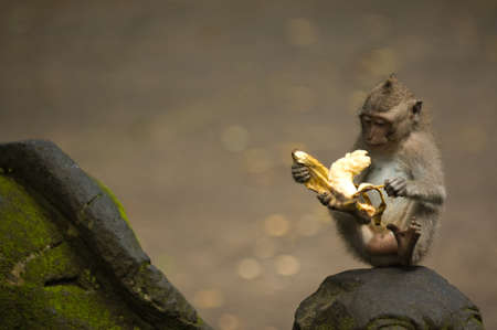 Balinese monkey with banana, Ubud Monkey Forest, Bali Stock Photo - 15858643