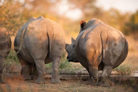 grosse fesse: Rhinos vus de derrière, près de Kruger National Park