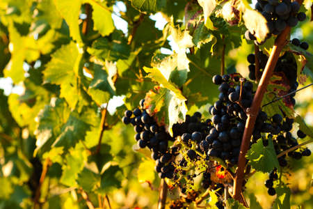 Red grapes on the vine in a sunny vineyard photo
