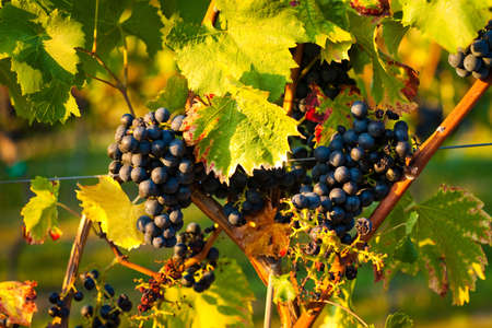 bunch of grapes: Red grapes on the vine in a sunny vineyard