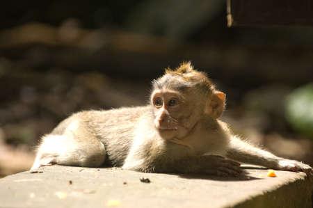 Balinese monkey relaxing in the sun, Ubud Stock Photo - 15900169