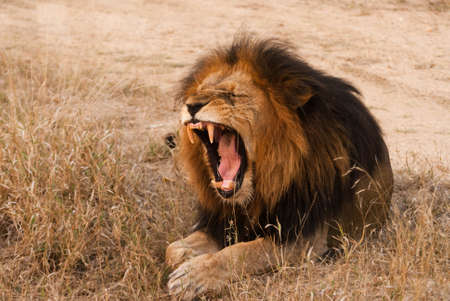 Yawning lion near Kruger National Park, Hoedspruit, South Africa photo