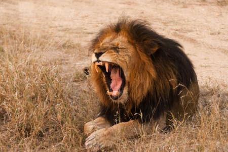 kruger: Yawning lion near Kruger National Park, Hoedspruit, South Africa Stock Photo