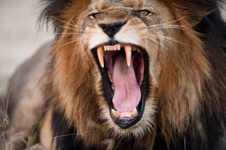 Angry roaring lion, Kruger National Park, South Africa Banque d'images
