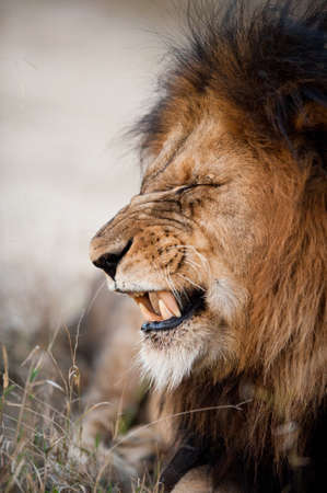 male lion: Lion baring his teeth near Kruger National Park