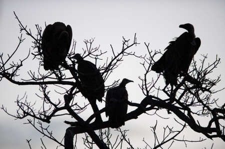 Vultures in a tree near Kruger National Park