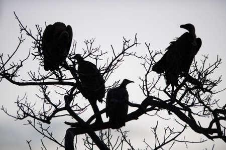 vulture: Vultures in a tree near Kruger National Park