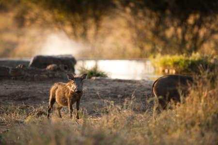 bush hog: Jabal� en abrevadero, Kruger National Park