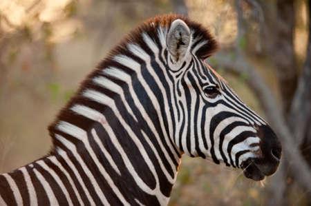munching: Plains zebra (Equus quagga) munching on grass, South Africa