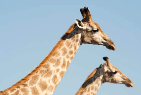Two giraffes (Giraffa camelopardalis) framed against light blue sky photo