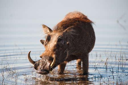 bush hog: Warthog Brown cabelludo en el agua de un r�o